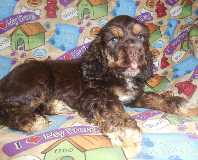 Wallburg Nc American Cocker Spaniel Davidson County North Carolina